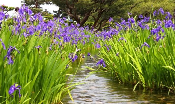 Kenrokuen Garden Iris 3